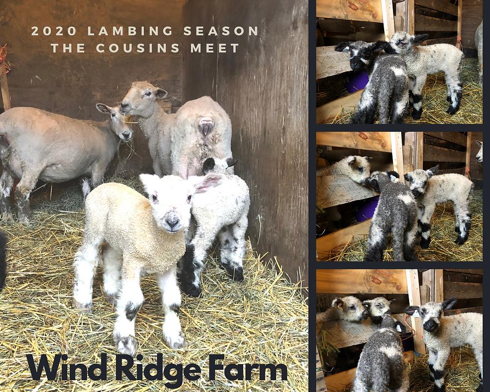 Wind Ridge Farm 2020 Lambing Season