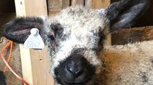 The Cousins Meet - Lambs 2020