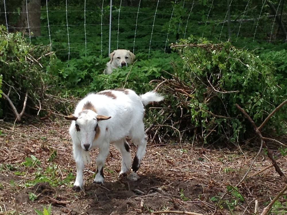 Get my goats - Angus herding Mac