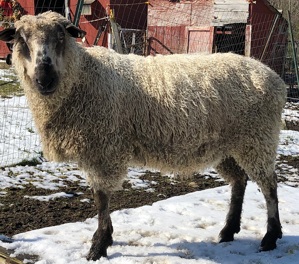Wind Ridge Farm - Ram Rhody