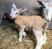 2021 Lambing Season Begins