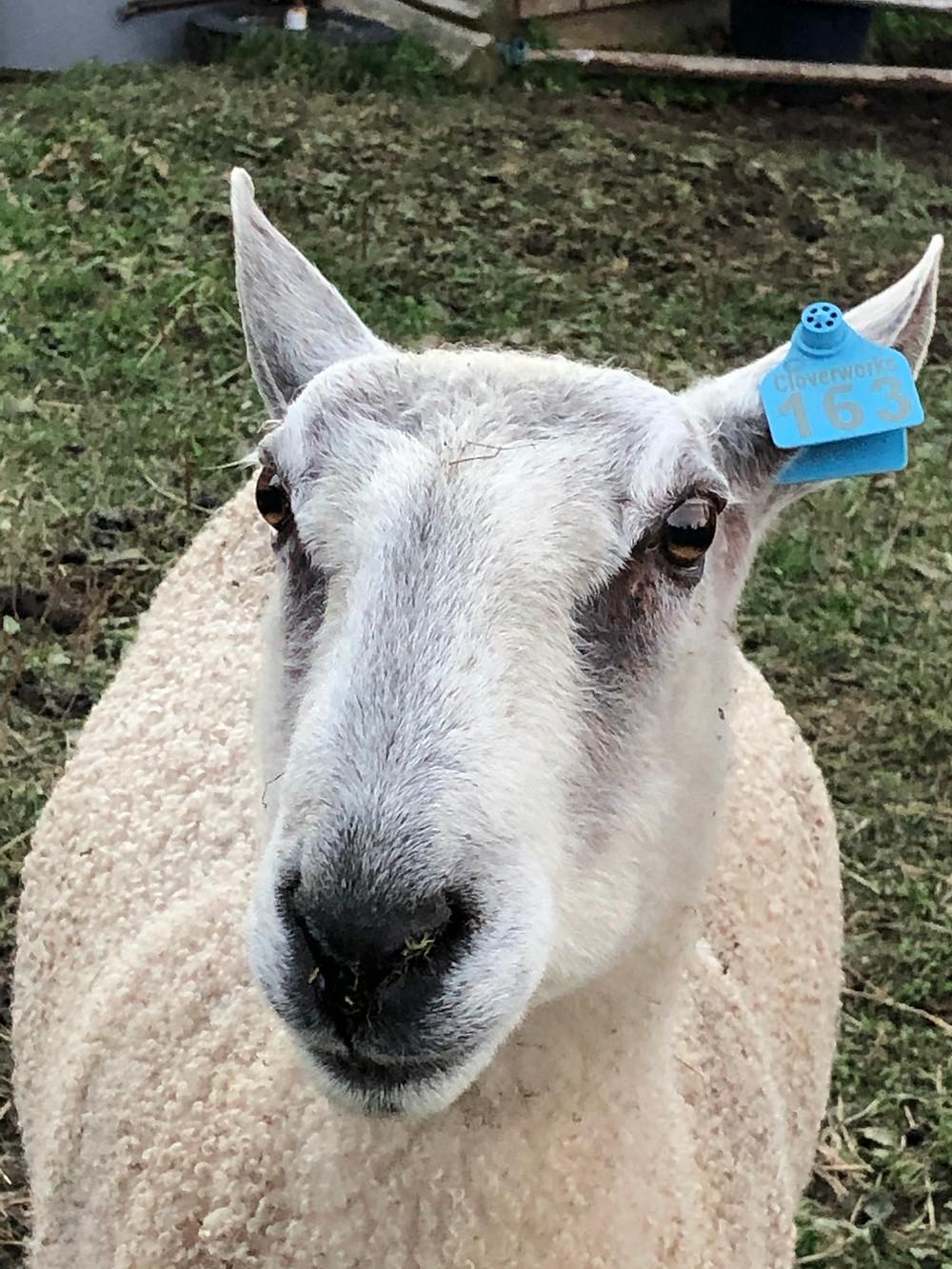 Wind Ridge Farm - Ram Rhody
