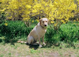 Dogs vs. Daffodils
