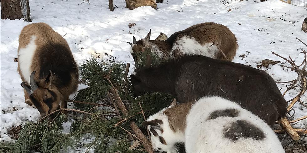Goat Walk March 1