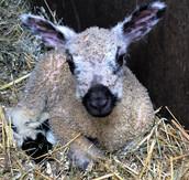 2021 Lambing Season Ends
