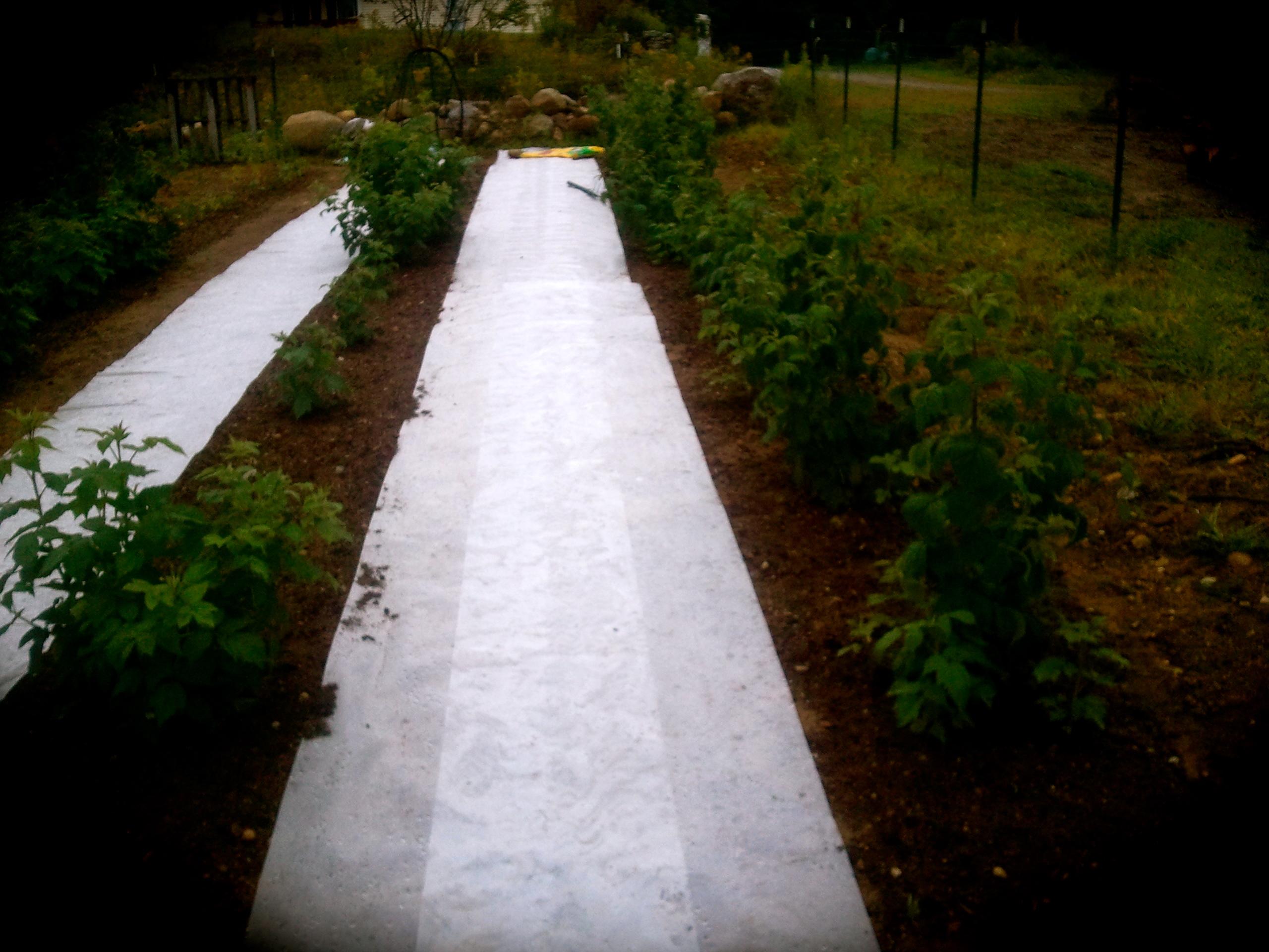 Raspberry Weed & Moisture Control