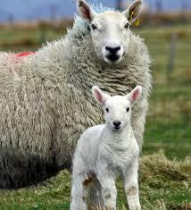 Wind Ridge Farm Mom & Lamb