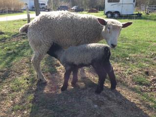 2015 Lambing Season with a 2013 Recap