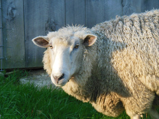 Sheep of the Month - Murray