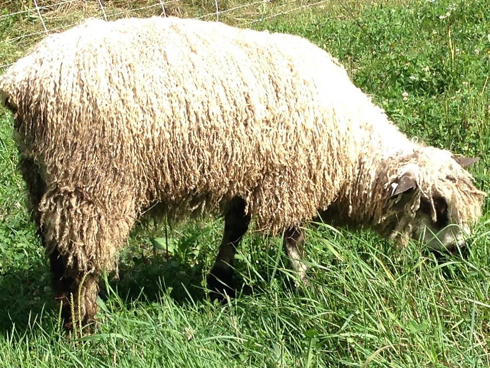 Our new ram Ronan, Wind Ridge Farm