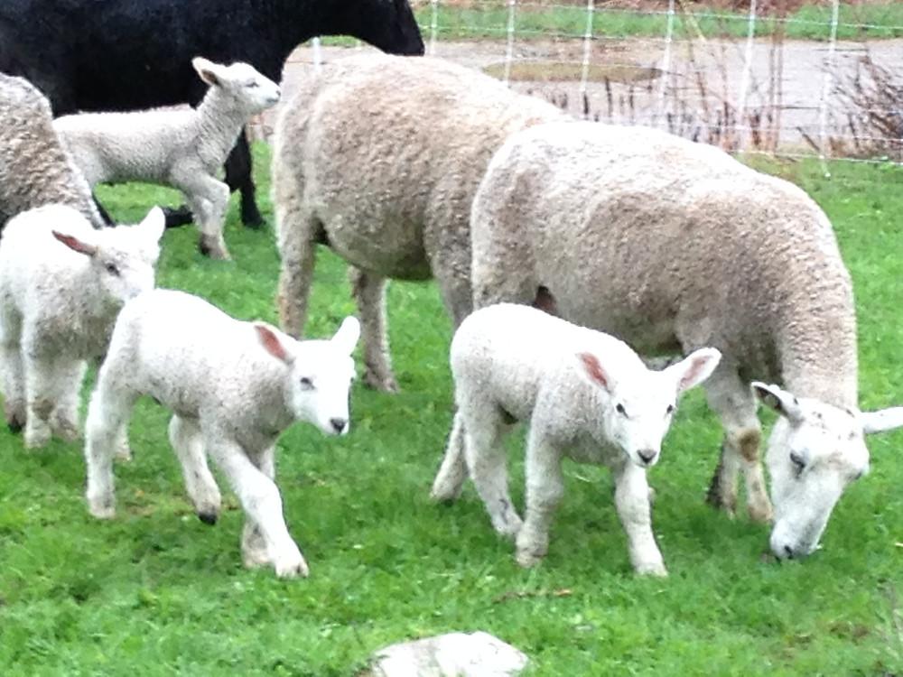 2016 lambs, Wind Ridge Farm