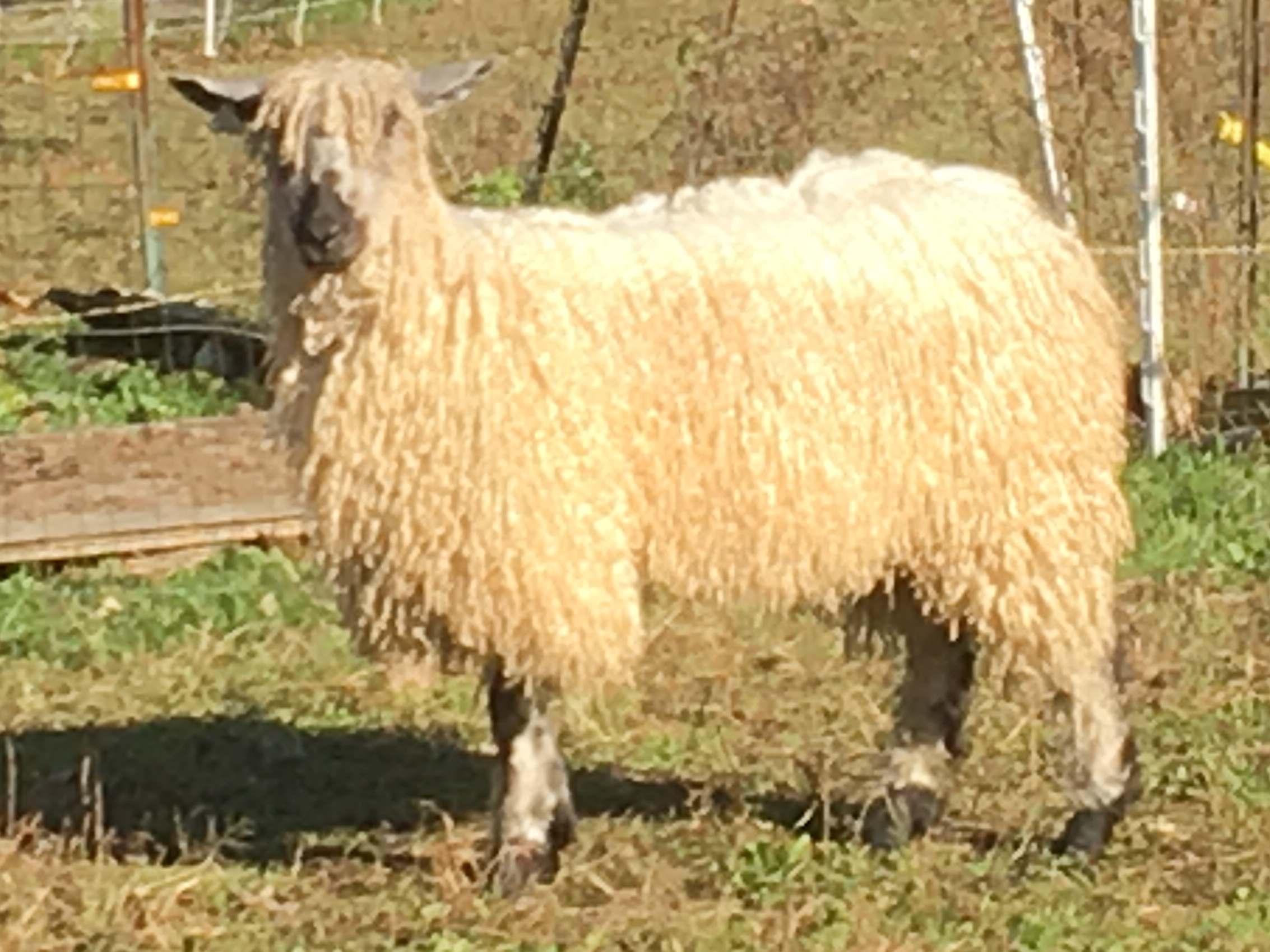 Registered Teeswater Ram