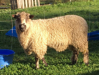THIS is a Teeswater!  Meet Ronan, our Teeswater Ram