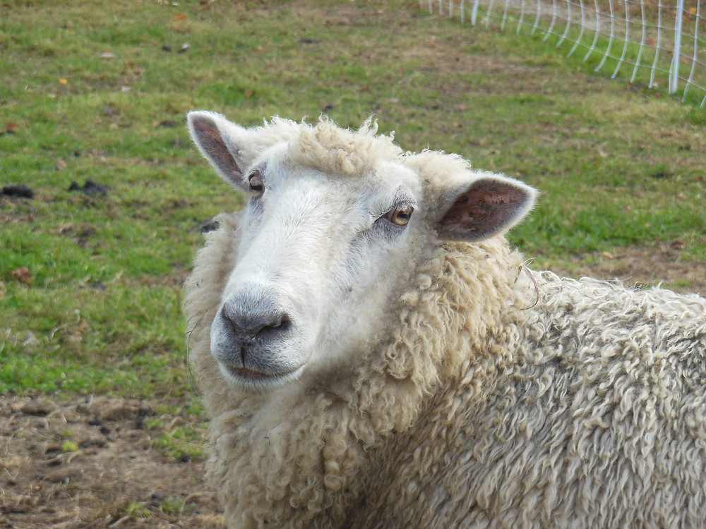 WRF_SheepProfile.JPG