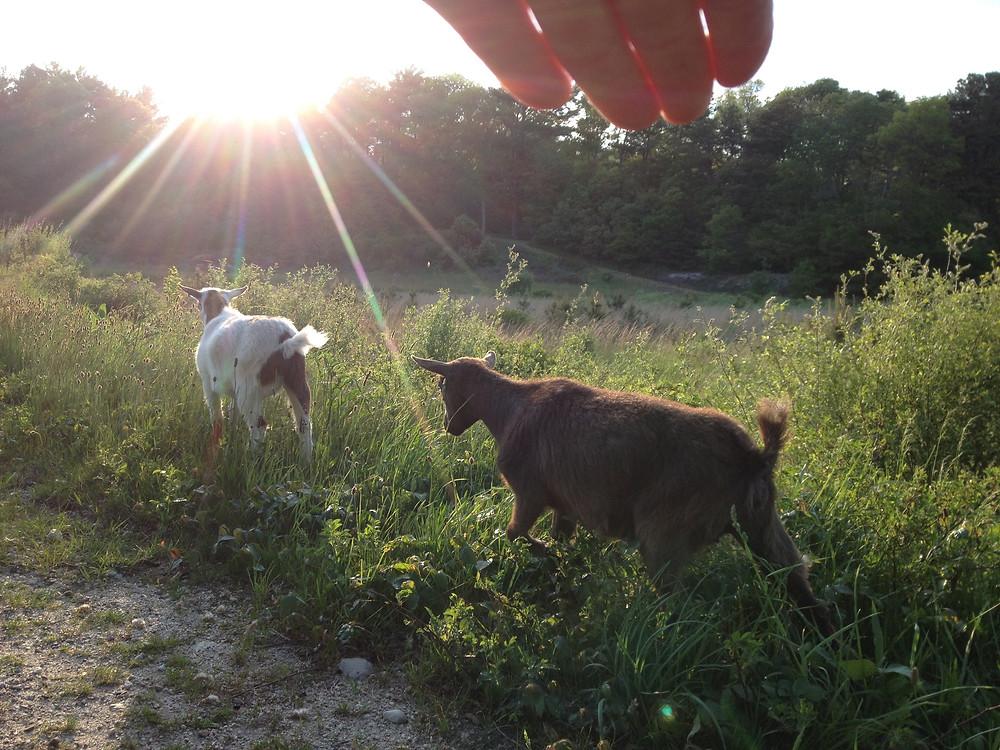 Get my goats - Goats on an afternoon bog stroll