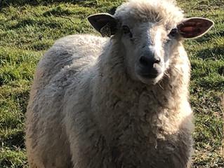 Teeswater & Teeswater x Lambs for Sale