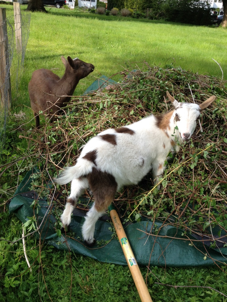 Get my Goats Mac & Ivy still clearing brush