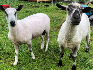 The Rams of Wind Ridge Farm