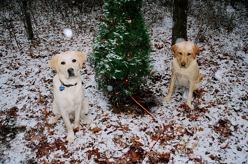 All-weather yellow labs