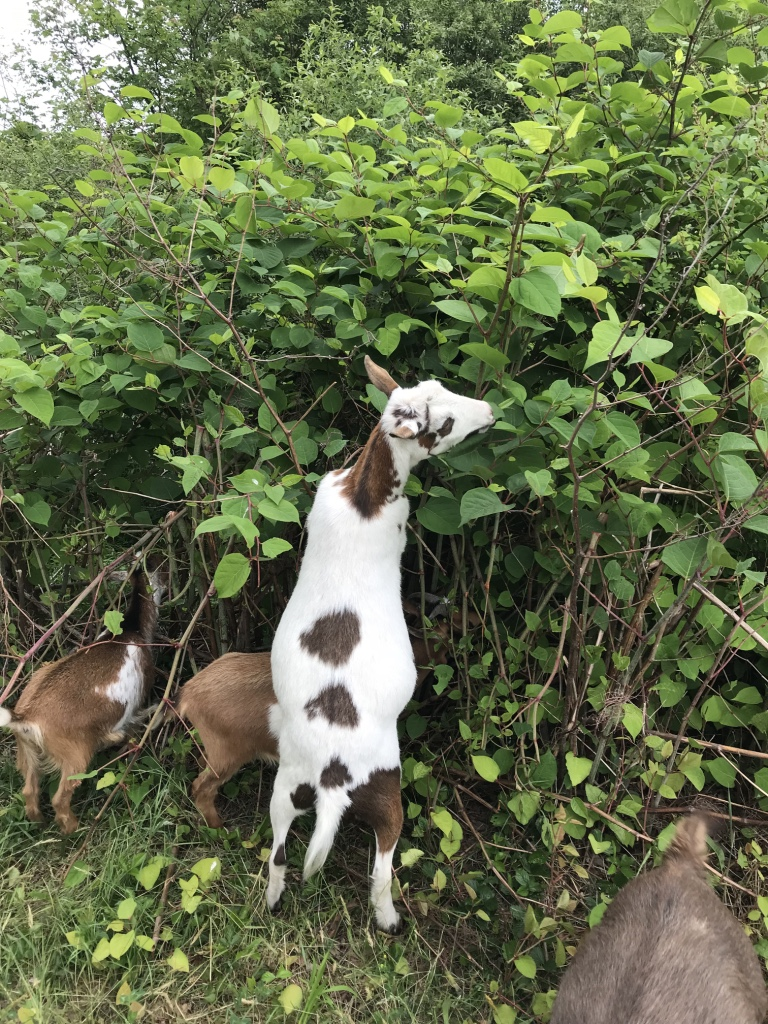 Knotweed goat buffet