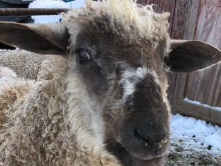 The Rams behind the fleece!