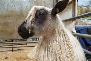 Teeswater Heritage Breed Sheep