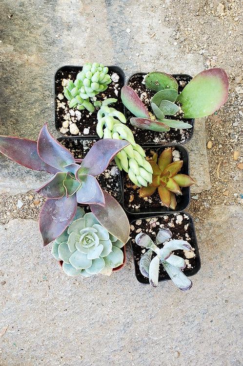 """Set of Six 2"""" Succulents (set B)"""