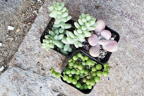 """Bundle of 2"""" Succulents (set 2)"""