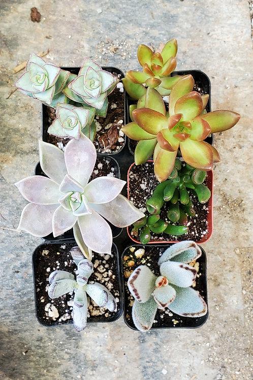 """Set of Six 2"""" Succulents (set A)"""