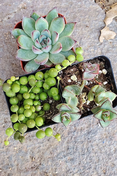 "Bundle of 2"" Succulents (set 1)"