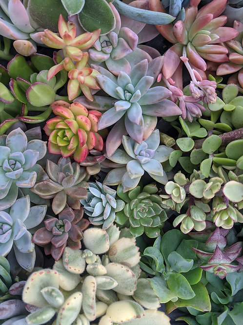 Succulent Cutting Package