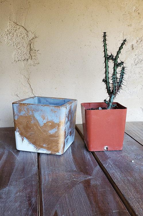 PLANT/POT Combo: Euphorbia Aeruginosa & Square Pot