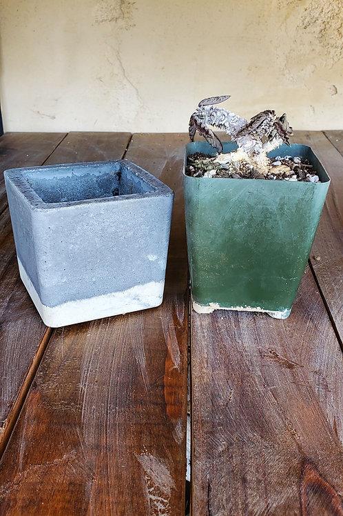 PLANT/POT Combo - Euphorbia Decaryi + Square Pot