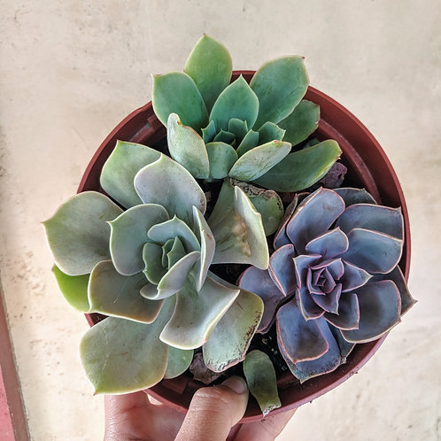 Echeveria Set (3 Individual Plants)
