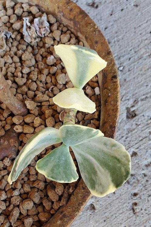 Cotyledon Undulata Variegata - Double