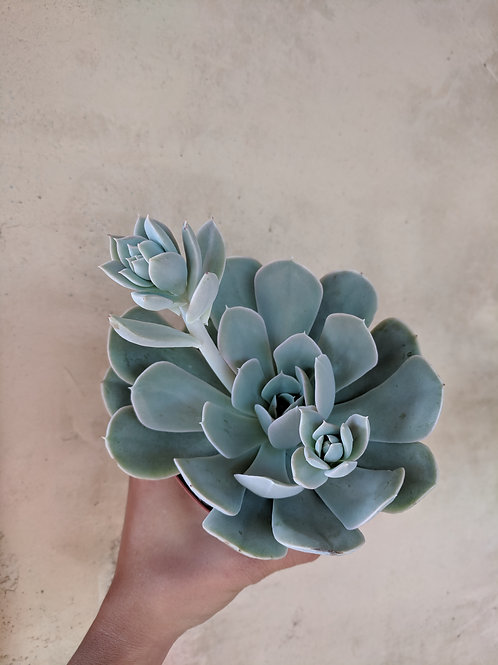 Echeveria Blue Cloud