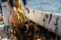 recolte-algolesko-algues-bretagne
