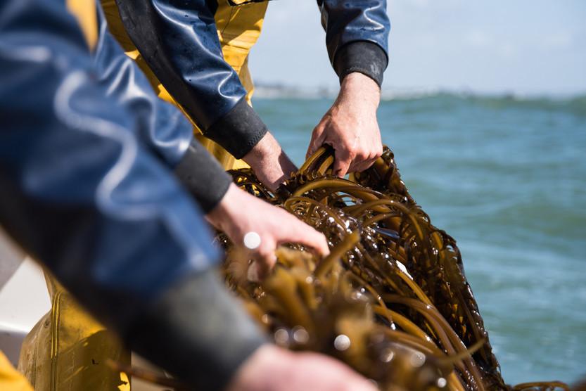 algolesko-recolte-algues-bio-bretagne
