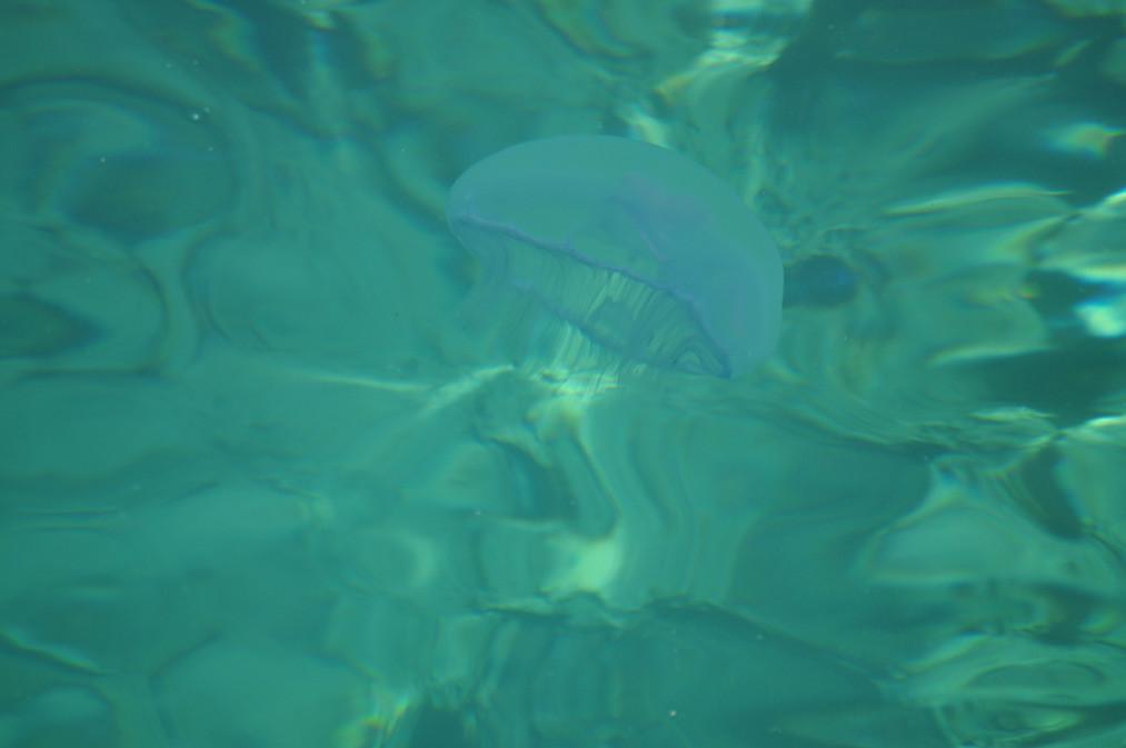 Jelly Fish 4