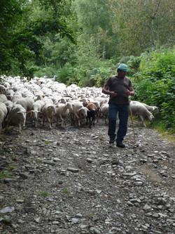 Troupeau de mouton Stevenson