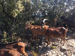 Les chèvres de la ferme de Bellis