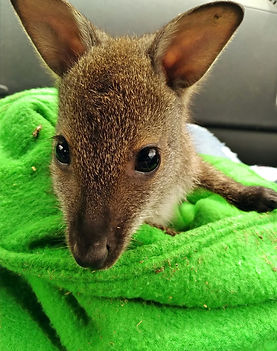 The%20Animal%20Express%20Wallaby_edited.