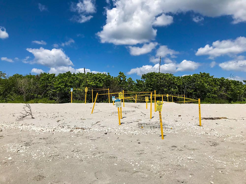 Turtle nests in Blind Pass beach in Sanibel Island, FL