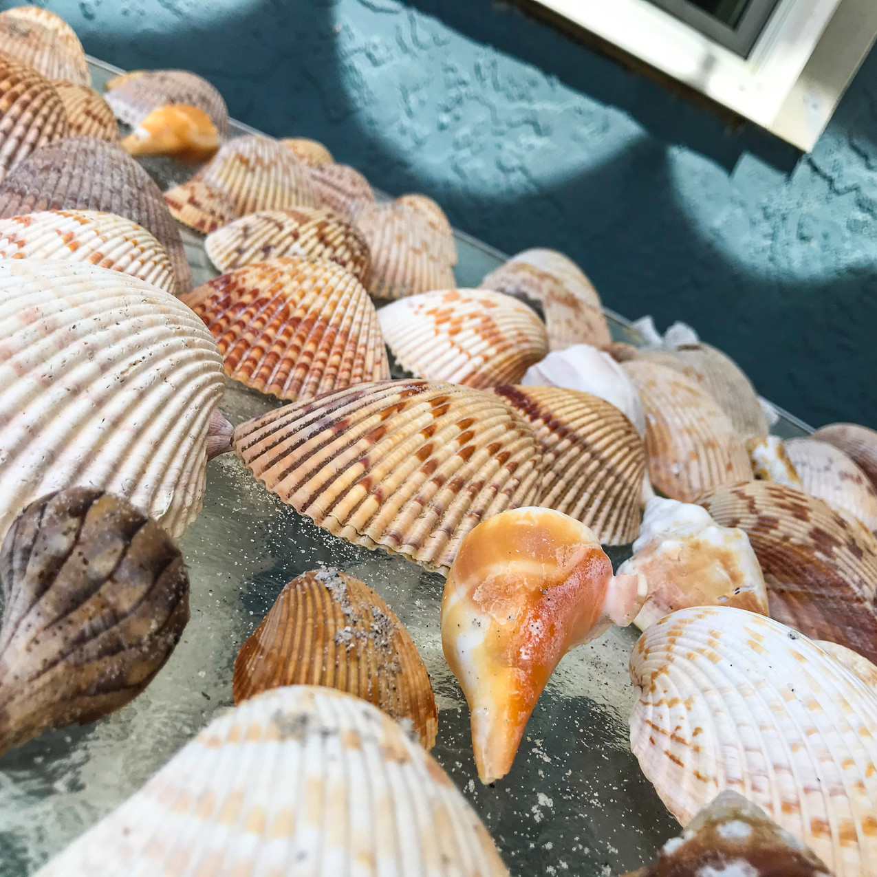 Shells collected from Silver Key Sanibel