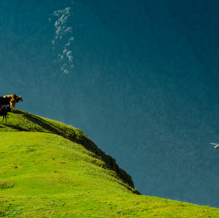 A herd of cows stare down at a chopper from the meadows above Narayan Ashram, Pithoragarh, Uttarakhand.