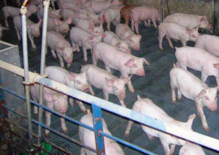 SURE-STEP Swine Flooring