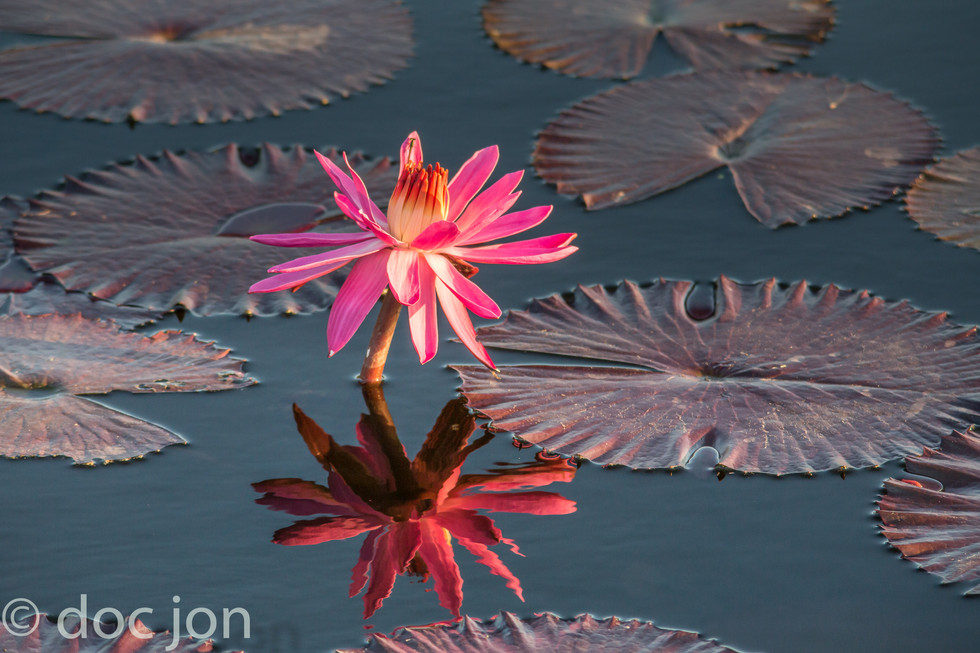 hot pink lily