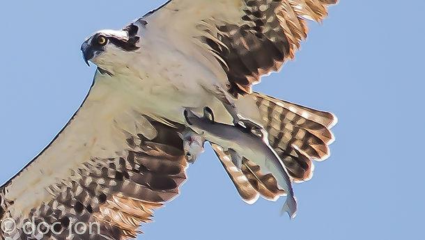 osprey-shark-fish-doc-jon-fstoppers.jpg