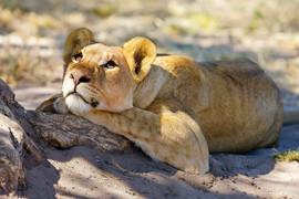 Dreaming Lion.jpg