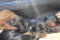 sangerfild_gordon_setter_puppies.JPG